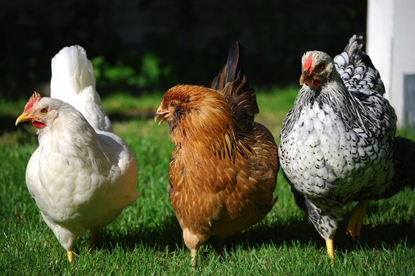 Eatontown Ordinance Would Allow Backyard Chickens