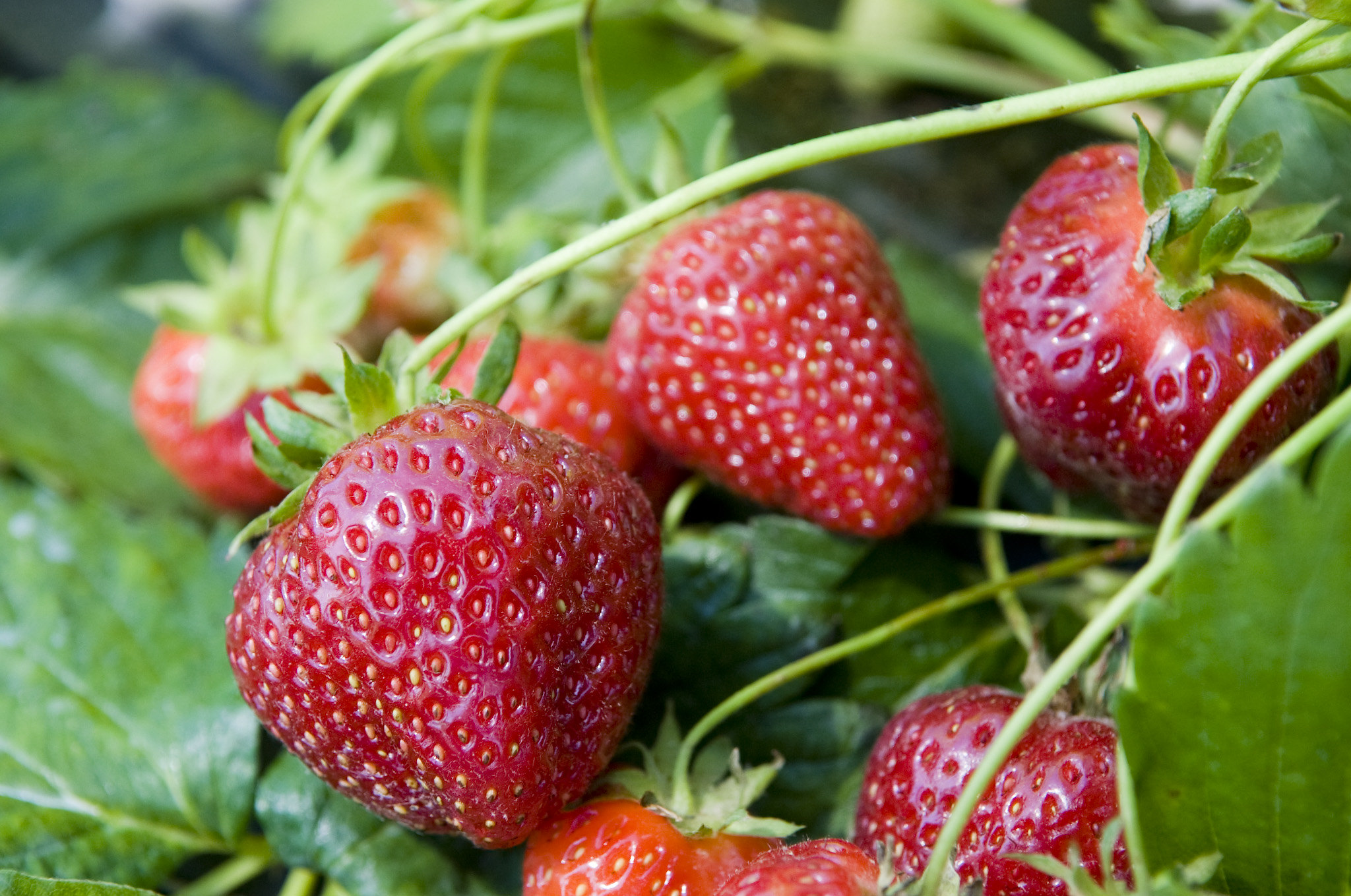 Fresh Tennessee Strawberries Are Ripe and Ready