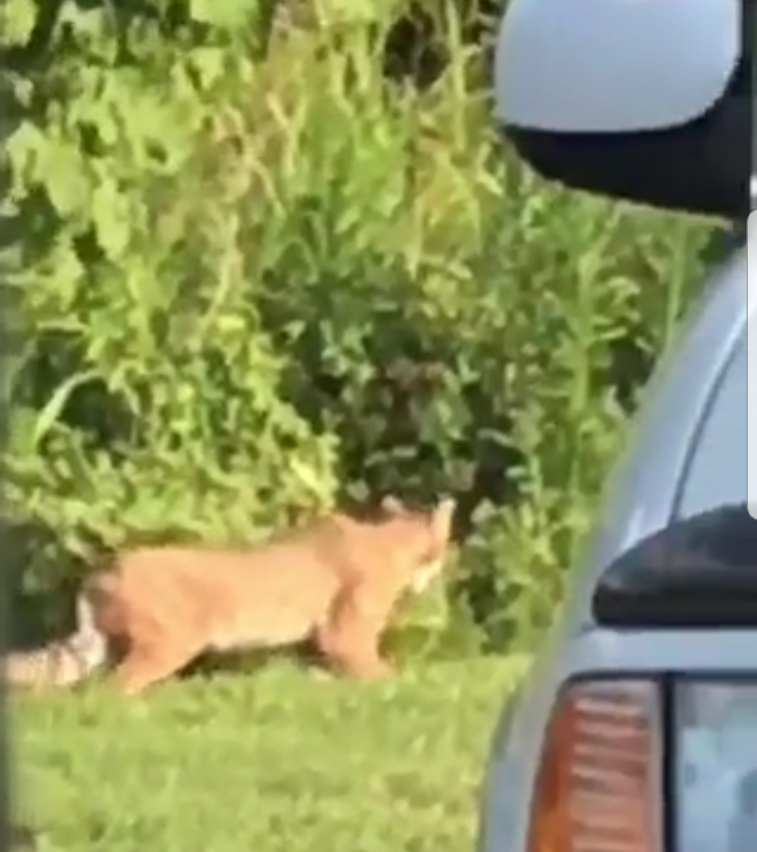 Large cat spotted behind Coconut Bay Cafe in Murfreesboro  - VIDEO