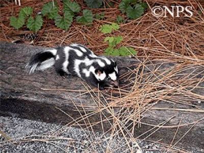 Uncommon Skunk Spotted in Tennessee