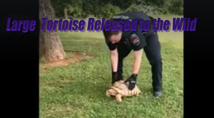 Large tortoise taken in by police and transported to Barfield Park Wilderness Station