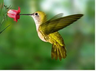 Banding or tagging hummingbirds in Murfreesboro This Saturday