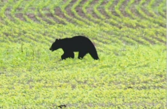 Black Bear Killed in nearby Smithville