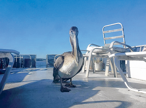 Pete the Pelican a most unconventional bird