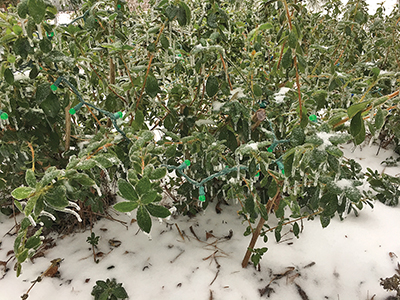 Plant foliage damaged by freeze doesn't mean plant is dead