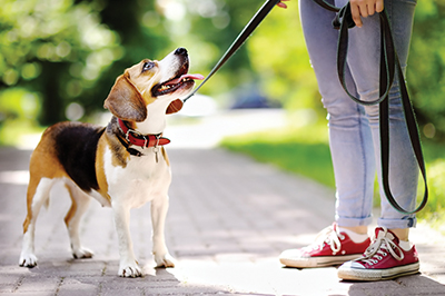Effective training protocols for a leash-reactive dog
