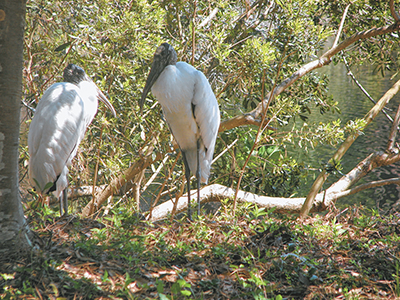 Wood storks, other wildlife need human help to survive