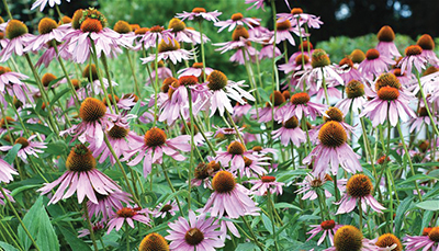 Echinacea angustifolia, also known as purple coneflower