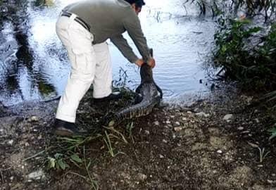 Liberan tortuga y cocodrilo