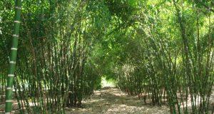 Segundo lugar en plantación de bambú