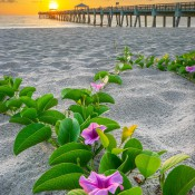 Purple flowers at the beach along the Juno Beach Pier during sunrise over Palm Beach County, Florida. HDR  image created in Photomatix Pro and Topaz software.