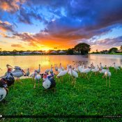 Warm sunset over Lake Catherine with Muscovy Ducks and Ibis at the lake in Palm Beach Gardens Florida. HDR image created using EasyHDR software and AuroraHDR 2017