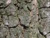 Texture corteccia