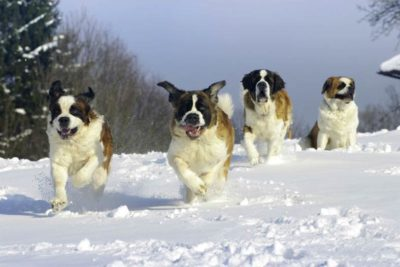 Four Saint Bernards running in the snow