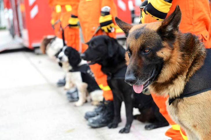 A German Shepherd, Black Lab, Springer Spaniel, and others preparing for Search and Rescue
