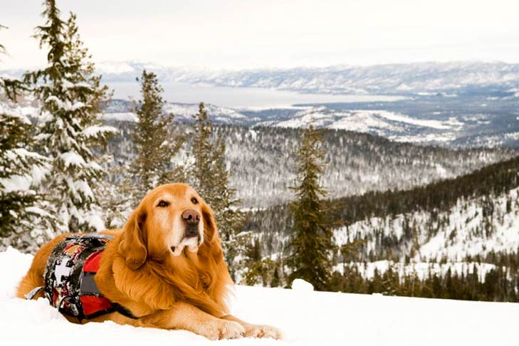 Golden Retriever Search and Rescue dog in the mountains