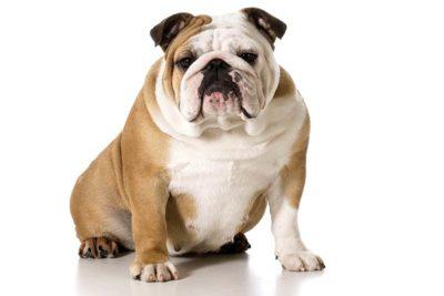 Chubby bulldog