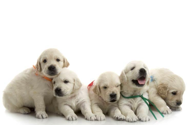 Five golden retriever puppies