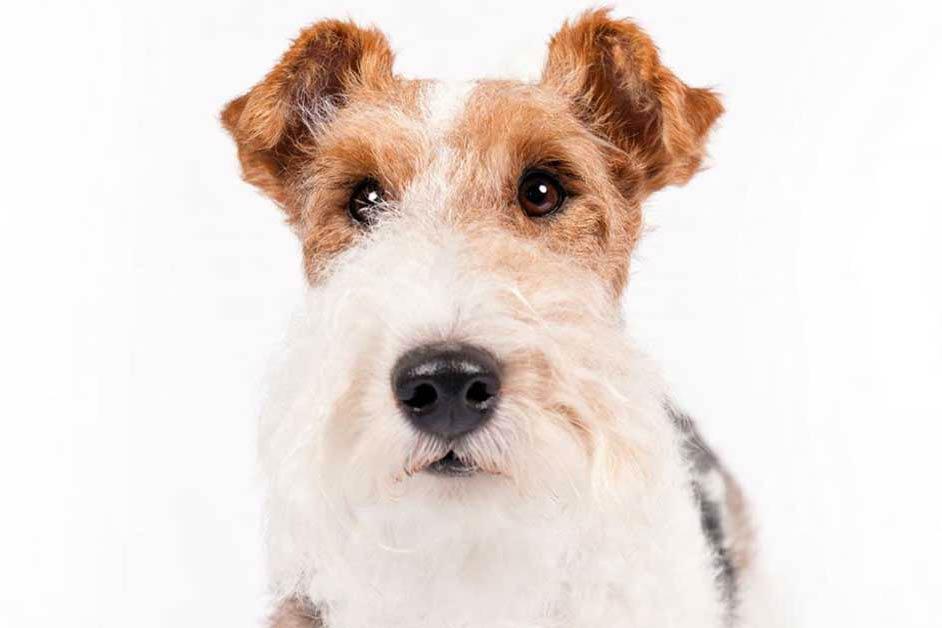 Stunning Wire Hair Rat Terrier Mix Photos - Wiring Diagram Ideas ...