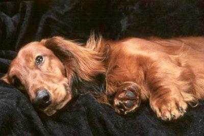 Dachshund lying in bed