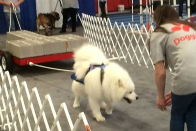 Samoyed pulling a weighted cart