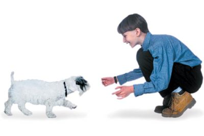 Boy teaching his Sealyham Terrier puppy to come