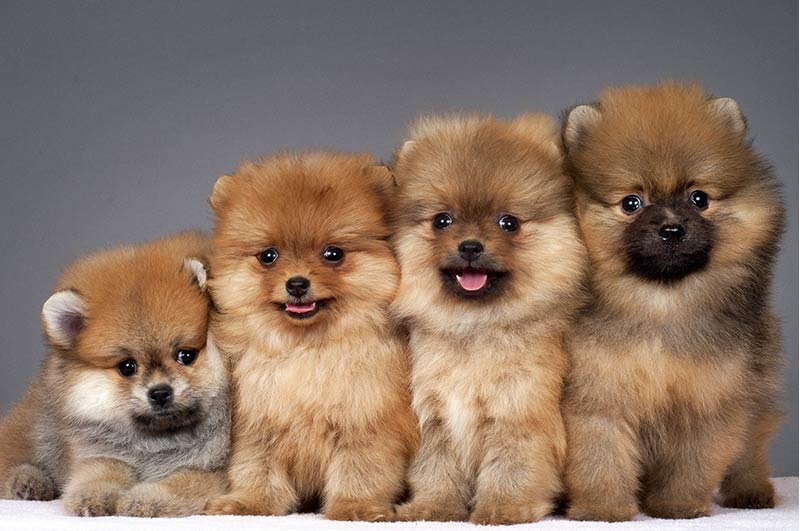 Pyrenean Mountain Puppy