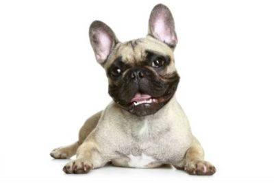 French Bulldog lying down on a white background