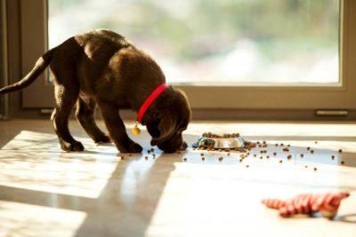 Brown Labrador Retriever puppy eating