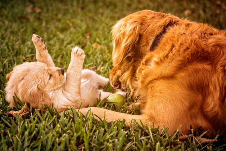 Golden retriever mother playing with her puppy outdoors