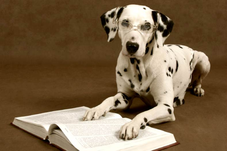 Dalmatian reading a book wearing glasses