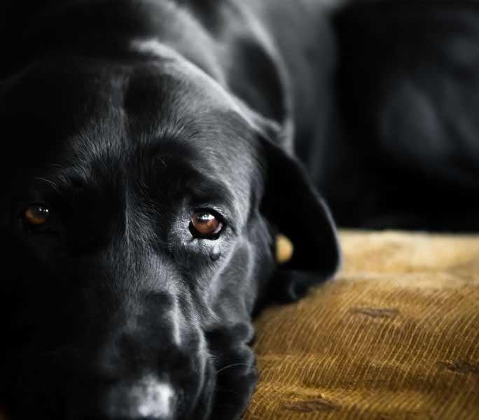 canine lymphoma header