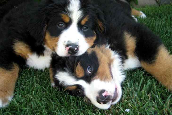 Two Bernese Mountain Dog puppies playing