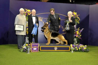 German Shepherd Purina Westminster Dog Show