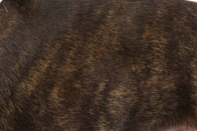 Boston Terrier Dandruff