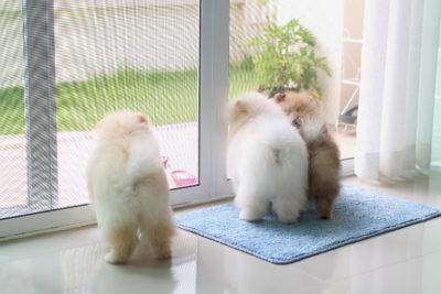 pomeranians waiting at the door