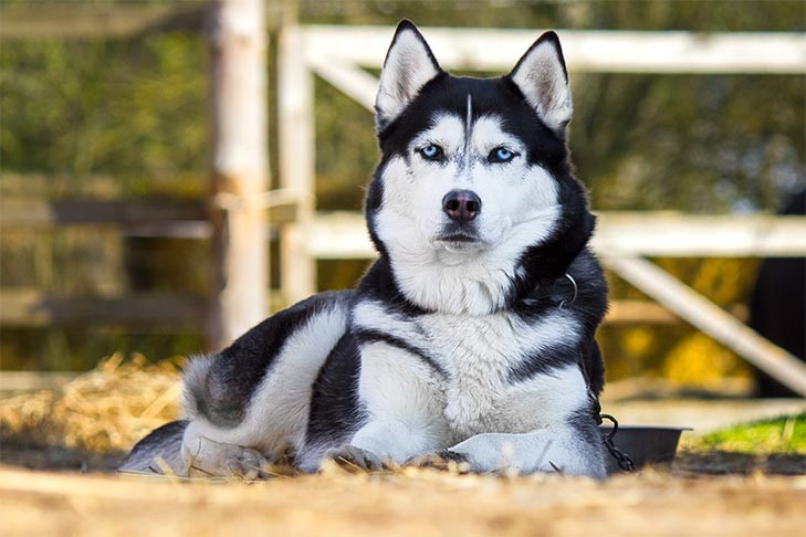 Siberian Husky staring outdoors