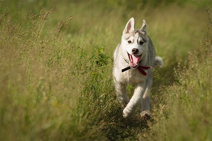 Siberian Husky running outdoors