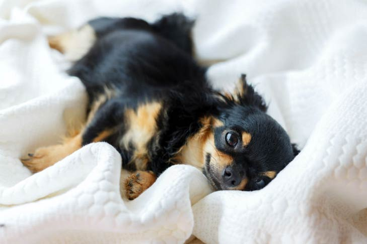 Chihuahua lying in a bed