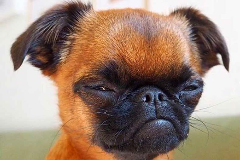 Brussels Griffon Face