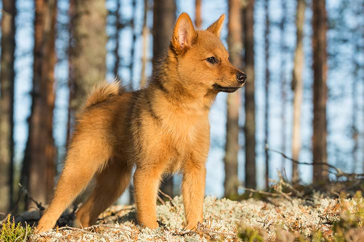 Finnish Spitz puppy standing outdoors in sunlight with a forest in the background.