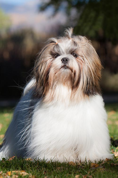 Lhasa Apso standing outdoors in sunlight.
