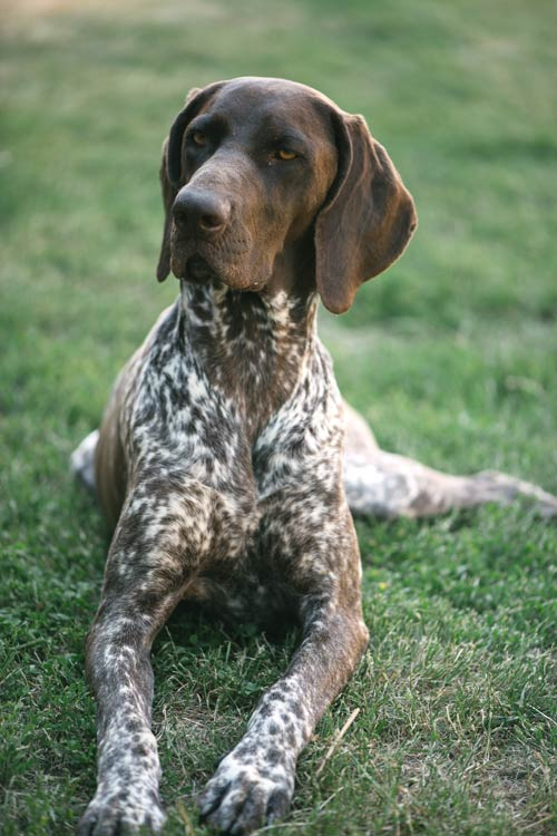 Akc Top Dog Breeds