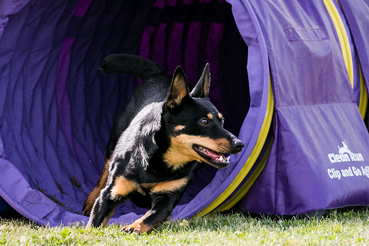 Lancashire Heeler running out of an agility tunnel