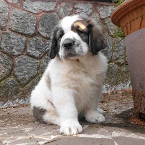 History Of The Mastiff Dog Breed