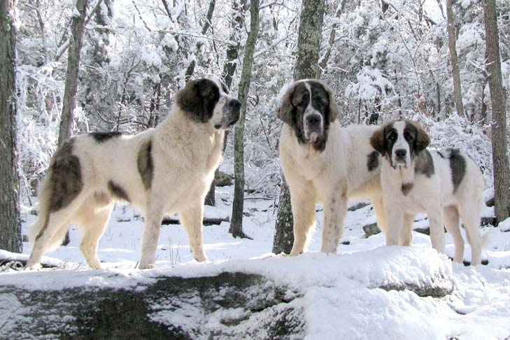 Two adult Pyrenean Mastiffs and one young Pyrenean Mastiff standing in a snow-covered forest