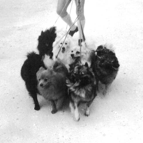 Group of multiple German Spitz on leashes walking forward