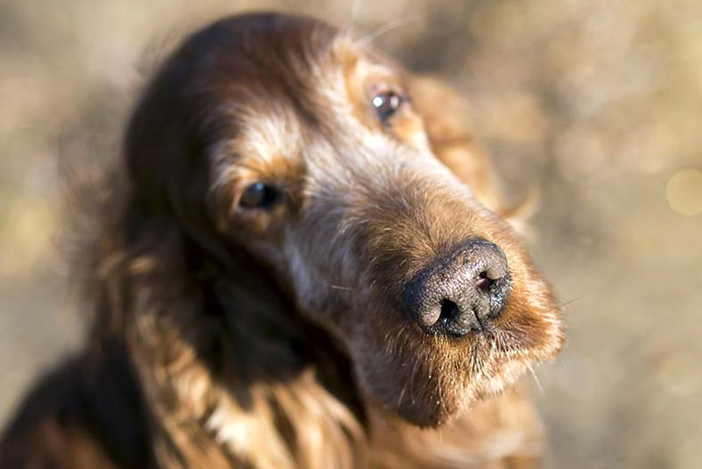 Senior dog face close-up