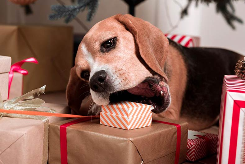 Beagle trying to bite a Christmas present during the holidays