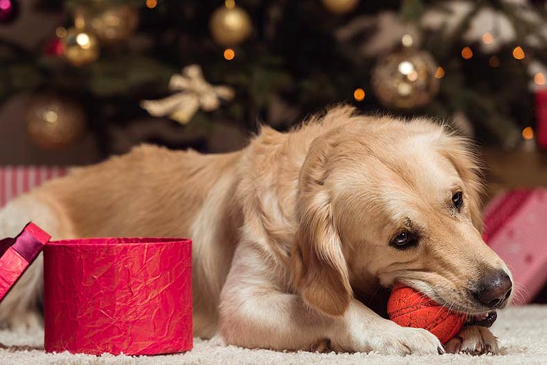 Golden Retriever playing in front of a Christmas tree during the holidays